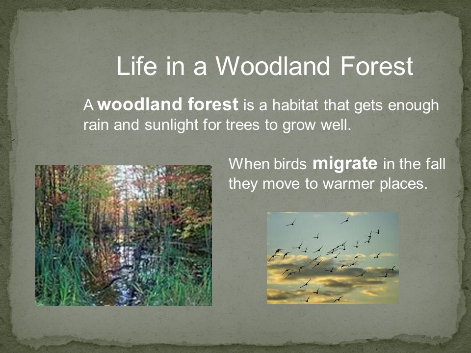 Life in a Woodland Forest A woodland forest is a habitat that gets enough rain and sunlight for trees to grow well. When birds migrate in the fall the