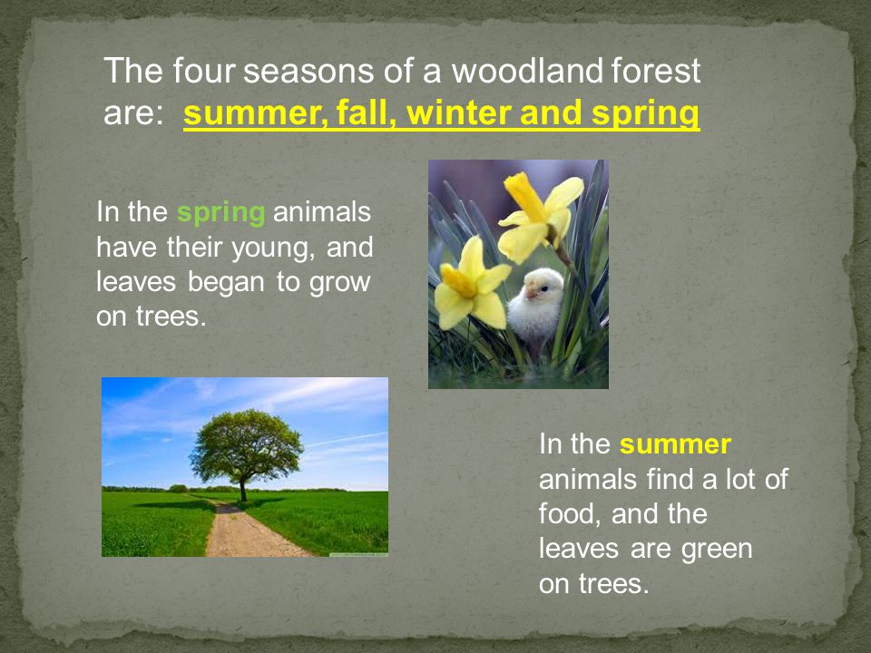 The four seasons of a woodland forest are: summer, fall, winter and spring In the spring animals have their young, and leaves began to grow on trees.