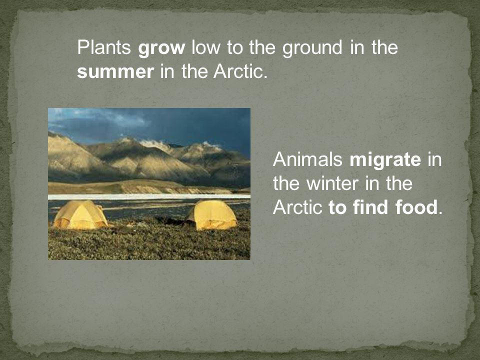Plants grow low to the ground in the summer in the Arctic. Animals migrate in the winter in the Arctic to find food.