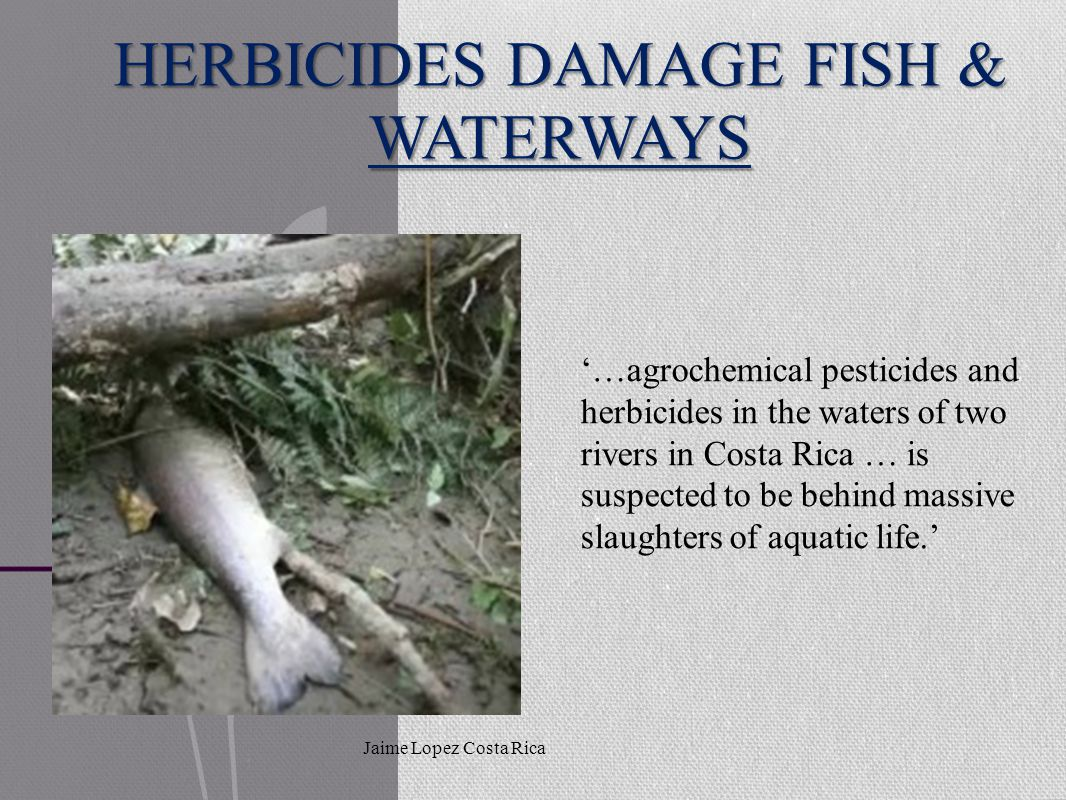 HERBICIDES DAMAGE FISH & WATERWAYS Jaime Lopez Costa Rica '…agrochemical pesticides and herbicides in the waters of two rivers in Costa Rica … is suspected to be behind massive slaughters of aquatic life.'