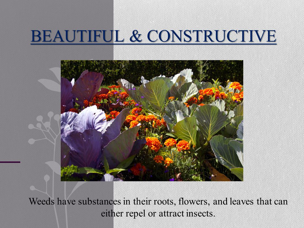 BEAUTIFUL & CONSTRUCTIVE Weeds have substances in their roots, flowers, and leaves that can either repel or attract insects.