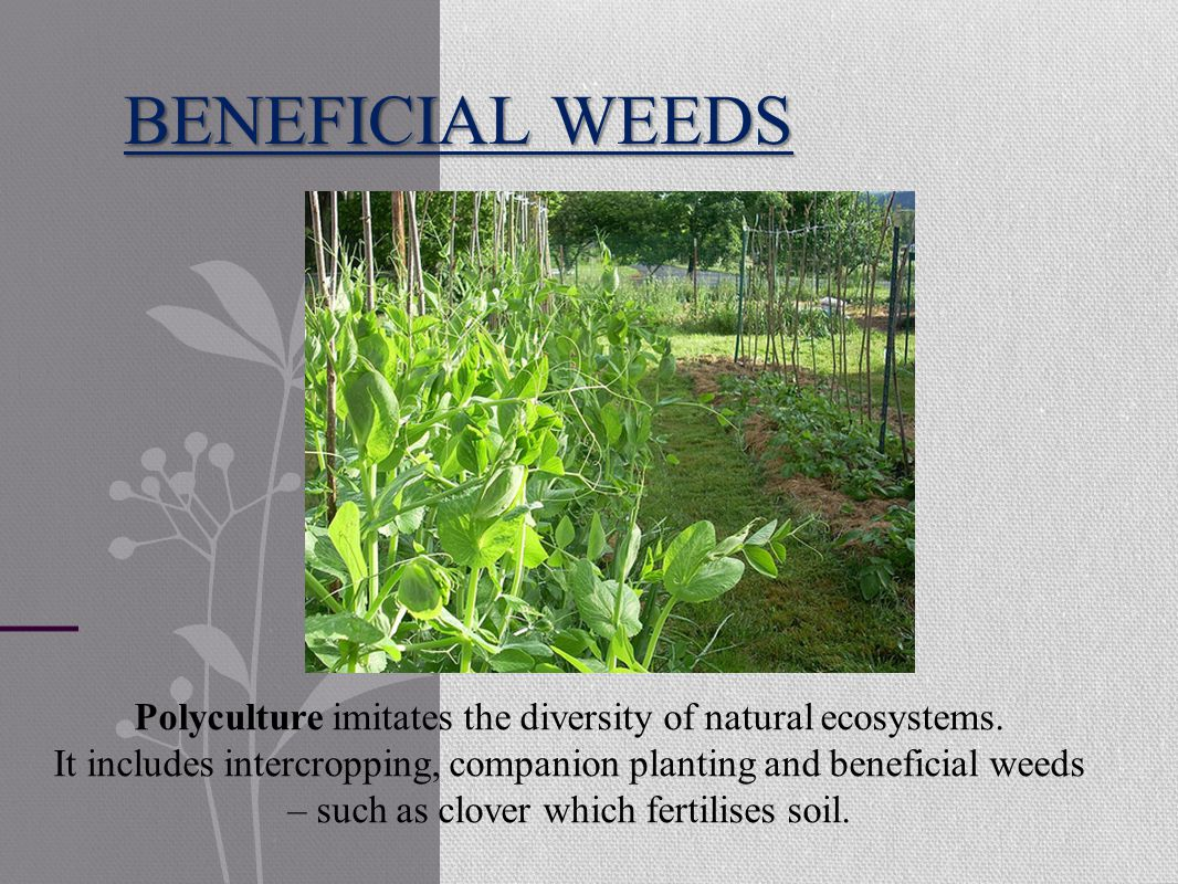 BENEFICIAL WEEDS Polyculture imitates the diversity of natural ecosystems.