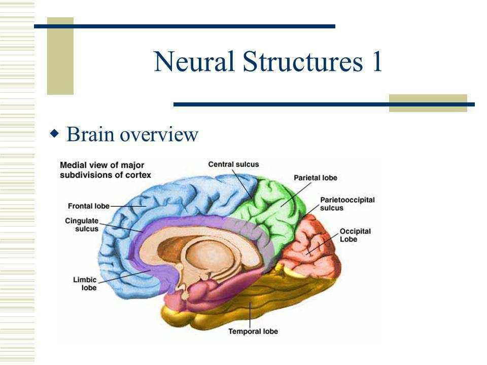 Neural Structures 1  Brain overview