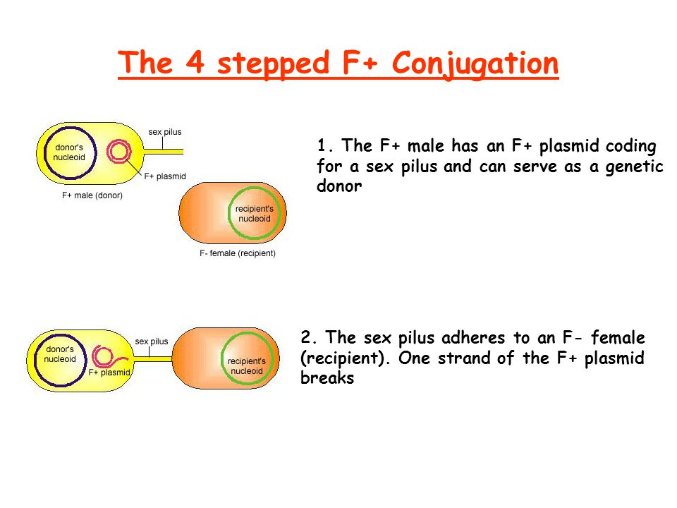 The 4 stepped F+ Conjugation 1. The F+ male has an F+ plasmid coding for a sex pilus and can serve as a genetic donor 2. The sex pilus adheres to an F