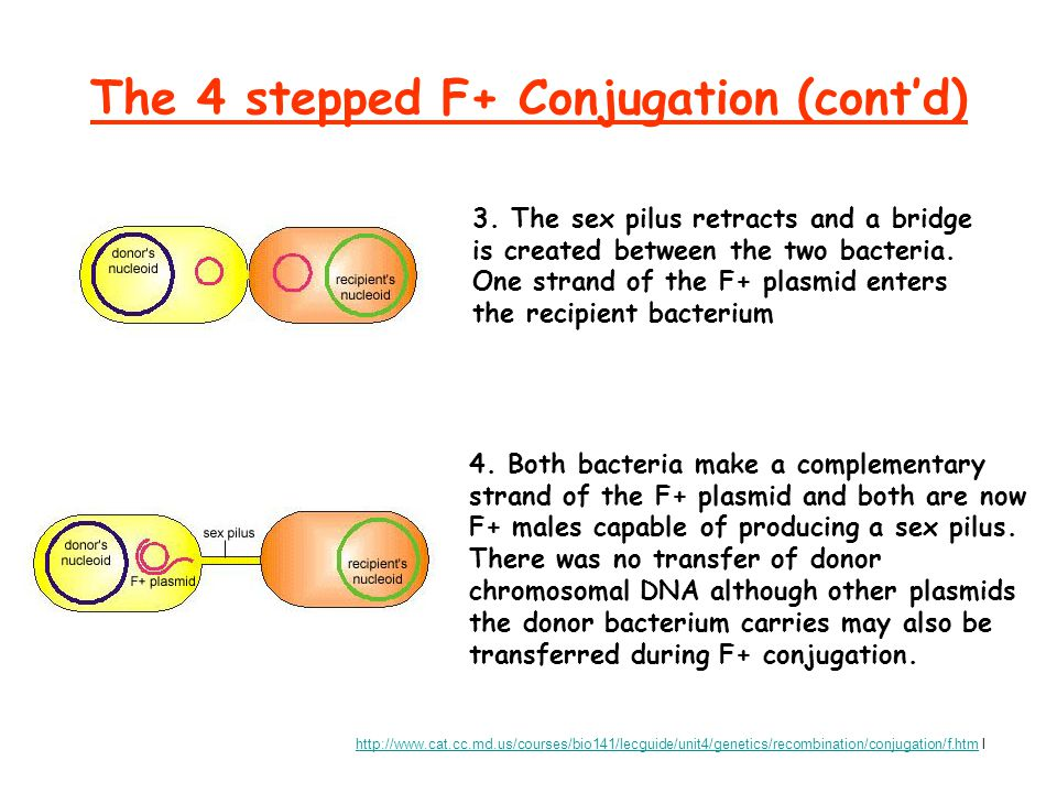 The 4 stepped F+ Conjugation (cont'd) 3. The sex pilus retracts and a bridge is created between the two bacteria. One strand of the F+ plasmid enters