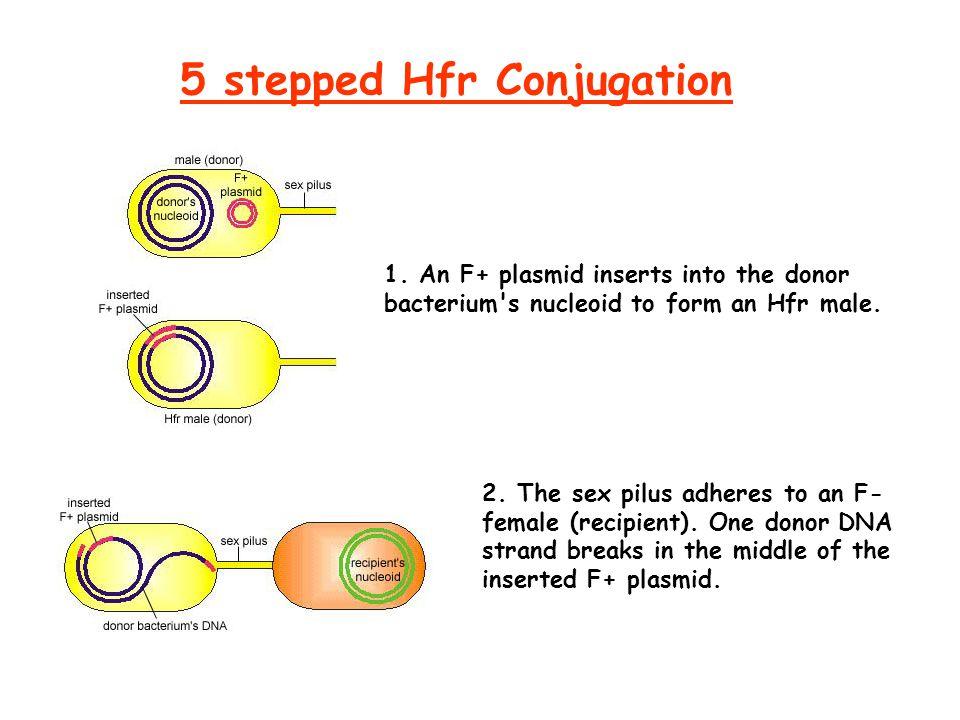 5 stepped Hfr Conjugation 1.
