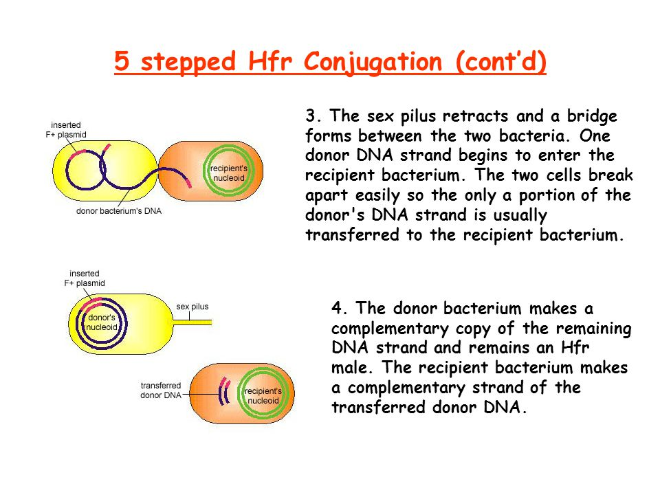 5 stepped Hfr Conjugation (cont'd) 3.