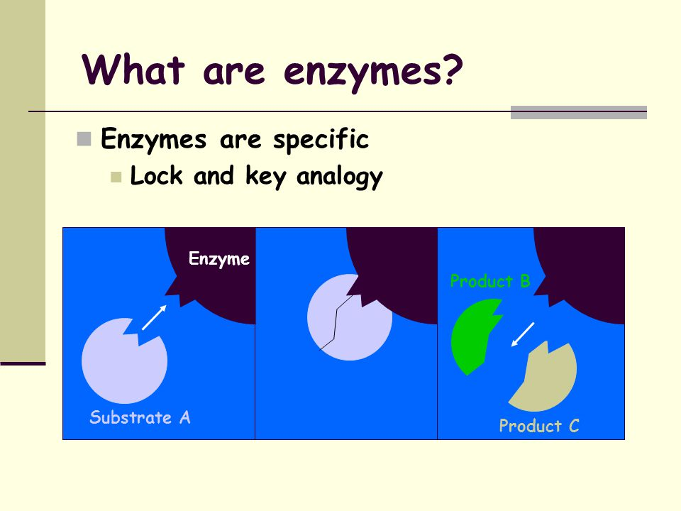 What are enzymes? Definition - a protein that catalyses (speeds up) chemical reactions without being changed