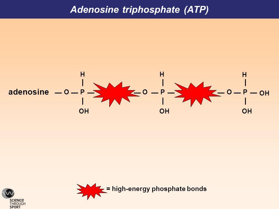 Adenosine triphosphate (ATP) = high-energy phosphate bonds O P HO H adenosine HO O P HO H O P HO H