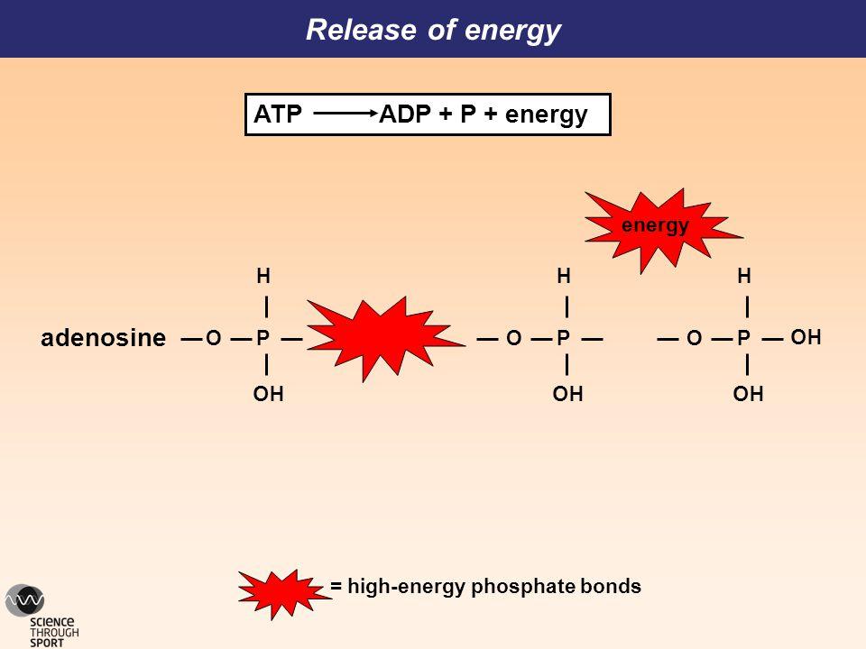 O P HO H adenosine HO = high-energy phosphate bonds Release of energy energy O P HO H O P HO H ATP ADP + P + energy