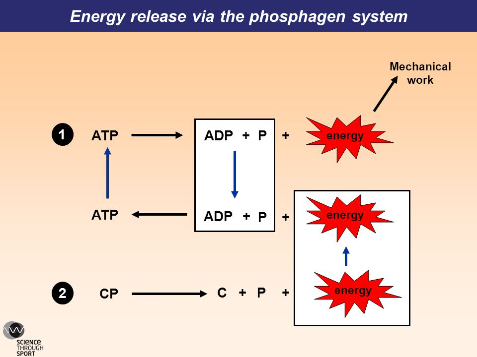 CP C+ P+ P++ADPATP P+ +ADP Mechanical work ATP Energy release via the phosphagen system energy 1 2