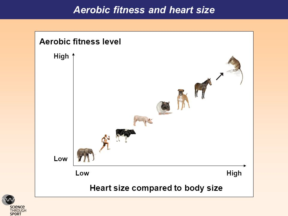 Aerobic fitness and heart size Heart size compared to body size LowHigh Low High Aerobic fitness level shrew