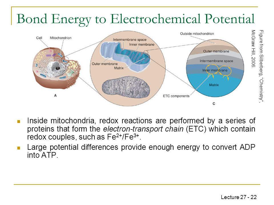 Lecture 27 - 22 Bond Energy to Electrochemical Potential Inside mitochondria, redox reactions are performed by a series of proteins that form the electron-transport chain (ETC) which contain redox couples, such as Fe 2+ /Fe 3+.