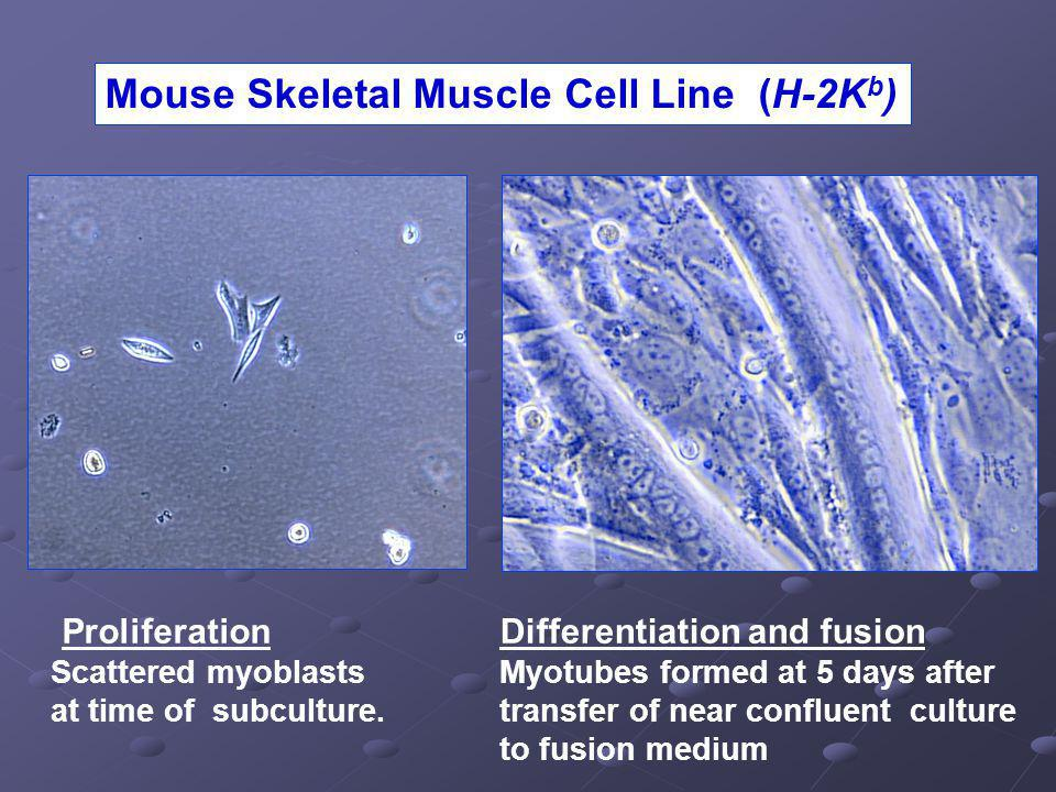 Mouse Skeletal Muscle Cell Line (H-2K b ) Proliferation Scattered myoblasts at time of subculture.