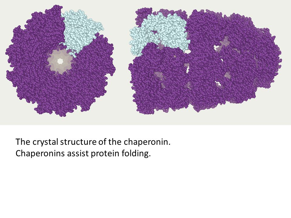 The crystal structure of the chaperonin. Chaperonins assist protein folding.