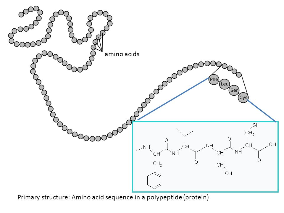 Primary structure: Amino acid sequence in a polypeptide (protein) amino acids