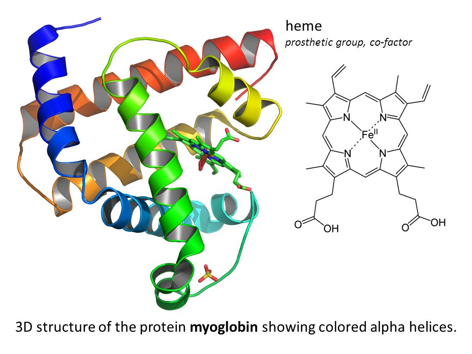 3D structure of the protein myoglobin showing colored alpha helices.