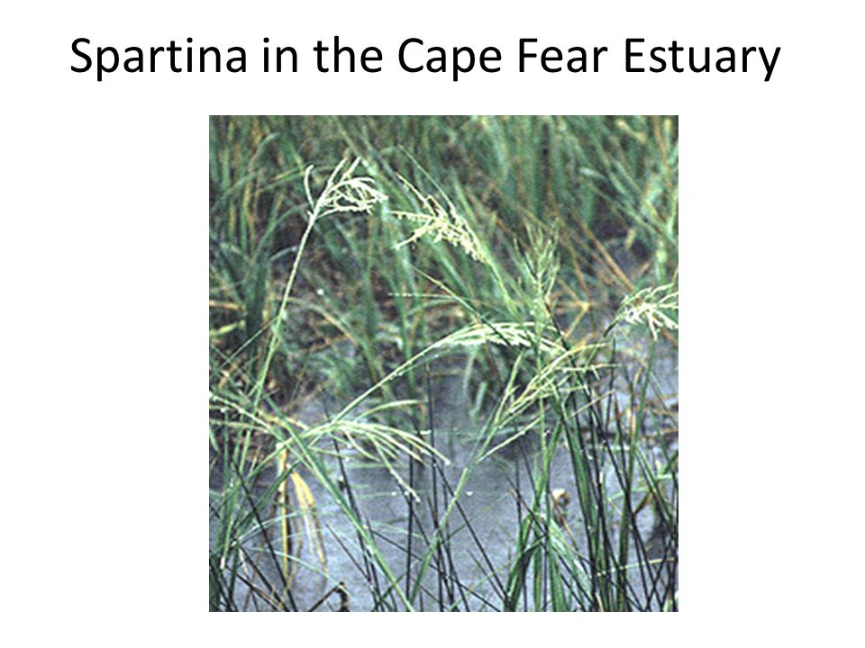 Spartina in the Cape Fear Estuary