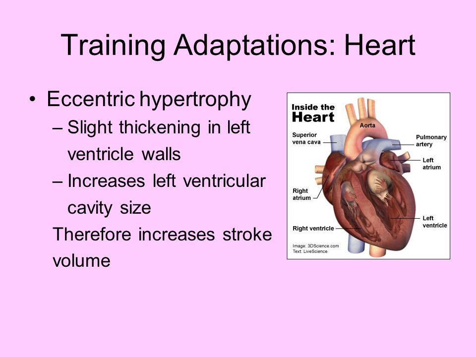 Training Adaptations: Heart Eccentric hypertrophy –Slight thickening in left ventricle walls –Increases left ventricular cavity size Therefore increas