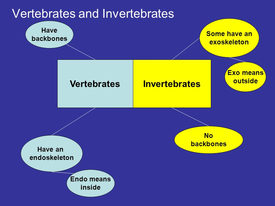 Vertebrates and Invertebrates VertebratesInvertebrates Have an endoskeleton Endo means inside Have backbones No backbones Some have an exoskeleton Exo