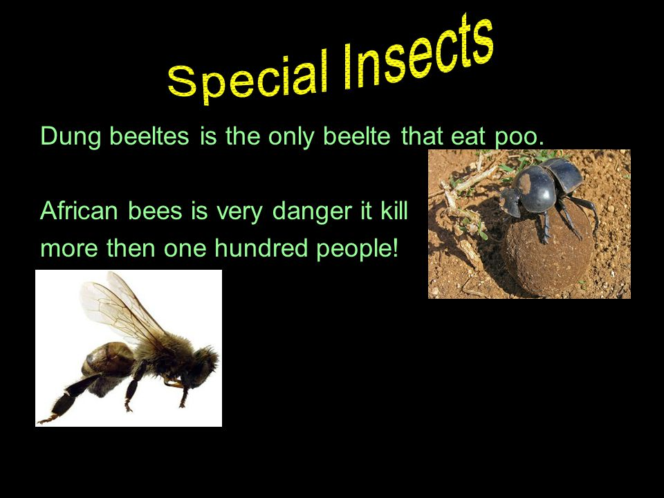Dung beeltes is the only beelte that eat poo.