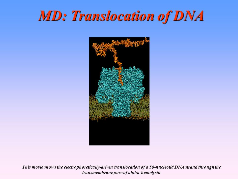 MD: Translocation of DNA This movie shows the electrophoretically-driven translocation of a 58-nucleotid DNA strand through the transmembrane pore of alpha-hemolysin