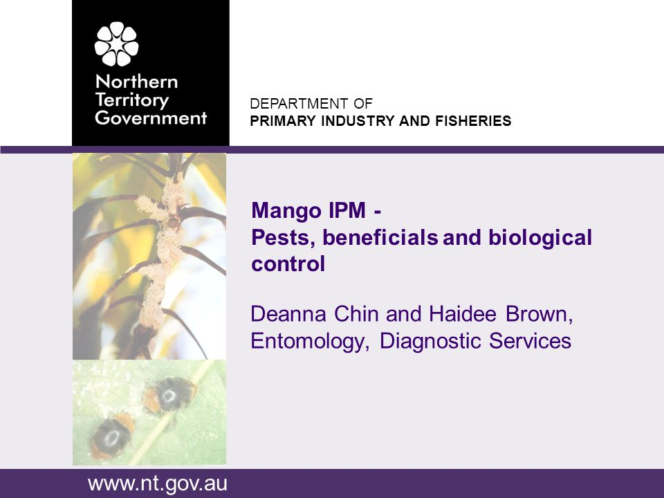 www.nt.gov.au DEPARTMENT OF PRIMARY INDUSTRY AND FISHERIES Mango tip borers Flower caterpillars Mango stem miner Swarming beetles Longicorn borer Mango seed weevil Giant termite Chewing Insects