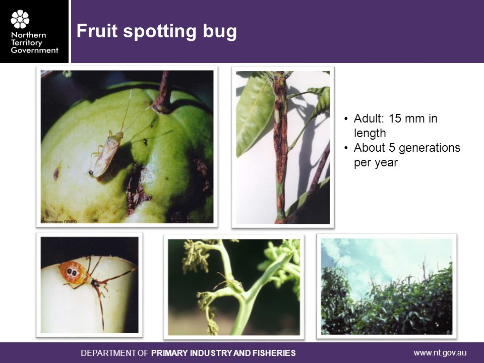 www.nt.gov.au DEPARTMENT OF PRIMARY INDUSTRY AND FISHERIES Adult: 15 mm in length About 5 generations per year Fruit spotting bug