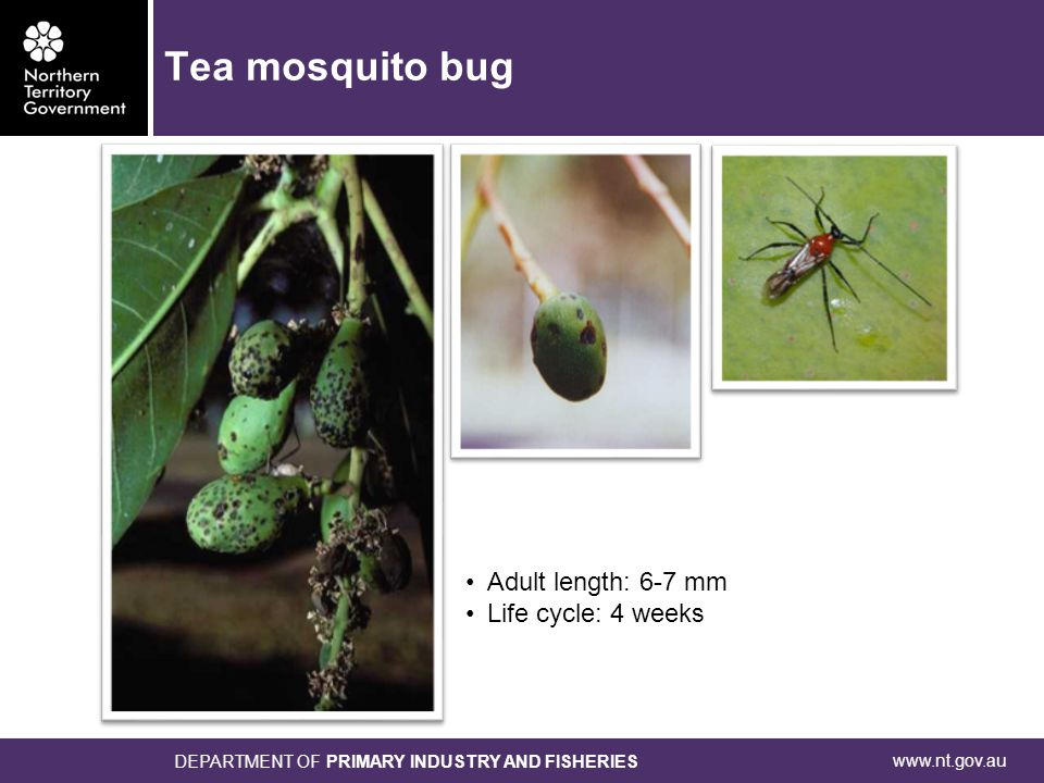 www.nt.gov.au DEPARTMENT OF PRIMARY INDUSTRY AND FISHERIES Adult length: 6-7 mm Life cycle: 4 weeks Tea mosquito bug