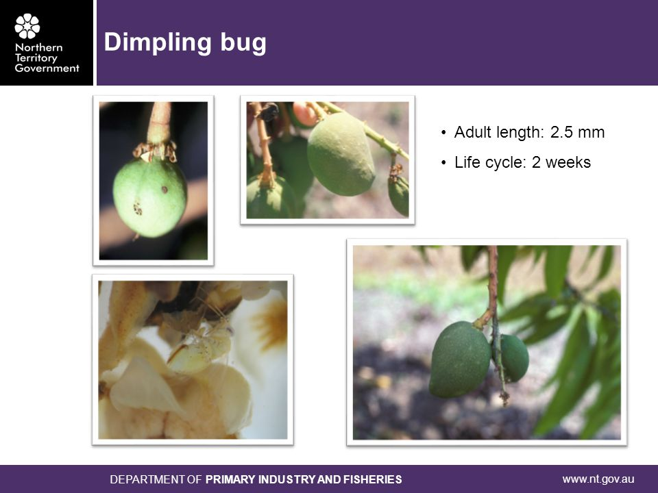 www.nt.gov.au DEPARTMENT OF PRIMARY INDUSTRY AND FISHERIES Adult length: 2.5 mm Life cycle: 2 weeks Dimpling bug