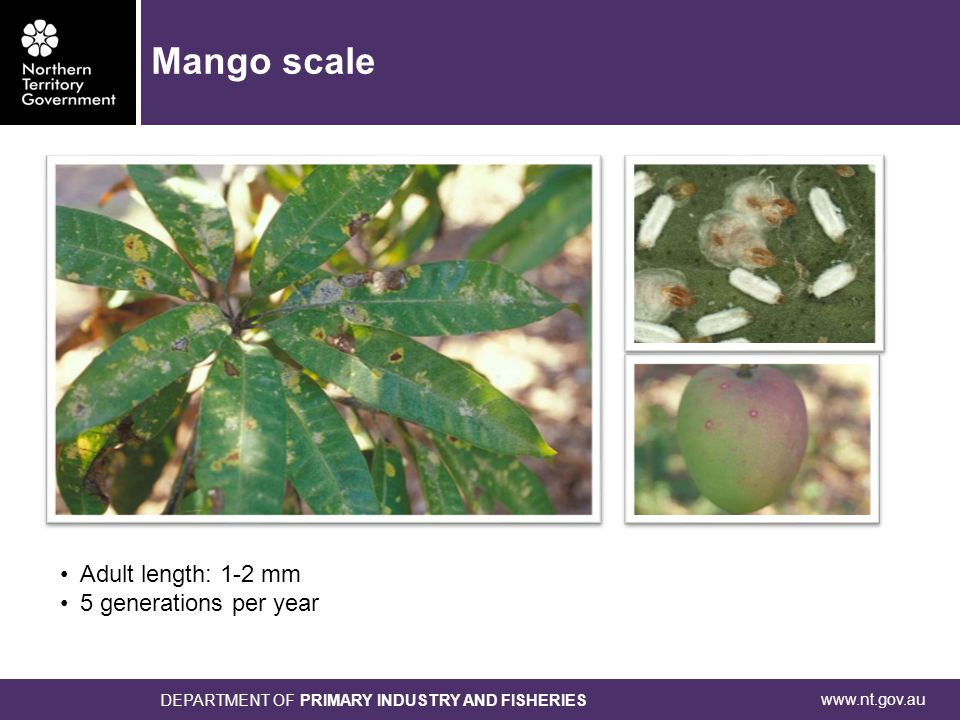 www.nt.gov.au DEPARTMENT OF PRIMARY INDUSTRY AND FISHERIES Adult length: 1-2 mm 5 generations per year Mango scale