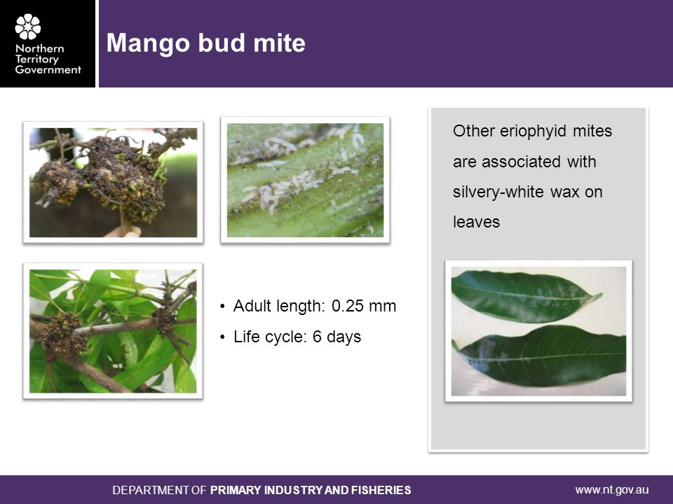 www.nt.gov.au DEPARTMENT OF PRIMARY INDUSTRY AND FISHERIES Other eriophyid mites are associated with silvery-white wax on leaves Adult length: 0.25 mm Life cycle: 6 days Mango bud mite