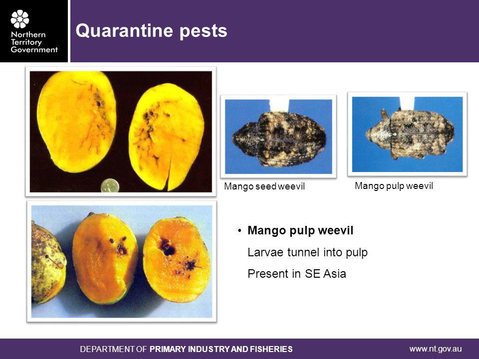 www.nt.gov.au DEPARTMENT OF PRIMARY INDUSTRY AND FISHERIES Mango pulp weevil Larvae tunnel into pulp Present in SE Asia Mango pulp weevil Mango seed w