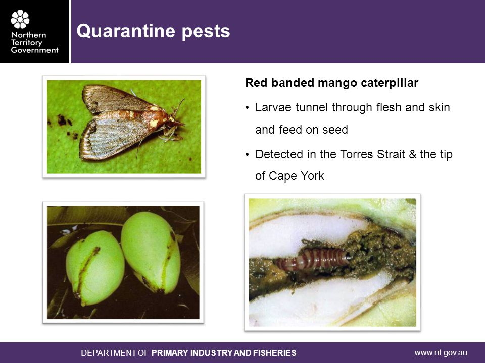 www.nt.gov.au DEPARTMENT OF PRIMARY INDUSTRY AND FISHERIES Red banded mango caterpillar Larvae tunnel through flesh and skin and feed on seed Detected in the Torres Strait & the tip of Cape York Quarantine pests