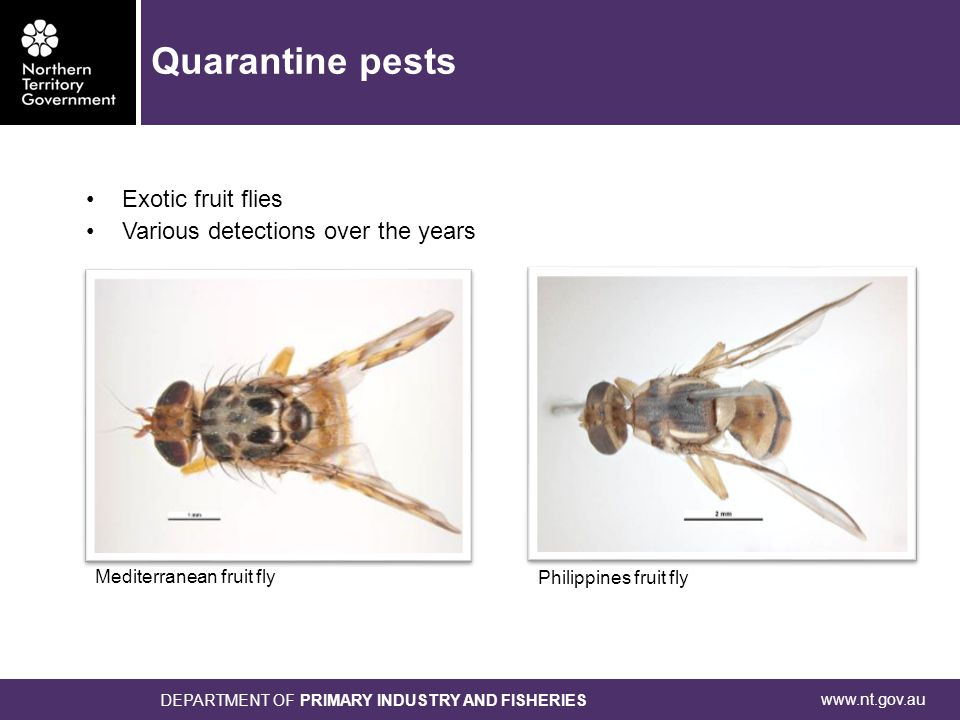 www.nt.gov.au DEPARTMENT OF PRIMARY INDUSTRY AND FISHERIES Philippines fruit fly Mediterranean fruit fly Exotic fruit flies Various detections over the years Quarantine pests