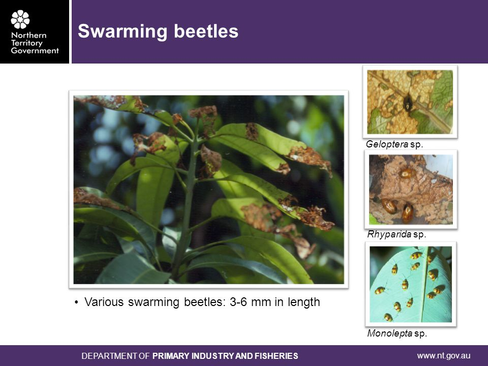 www.nt.gov.au DEPARTMENT OF PRIMARY INDUSTRY AND FISHERIES ● Mature larvae: up to 40 mm ● Adult length: 20-30 mm ● One generation per year Longicorn borer