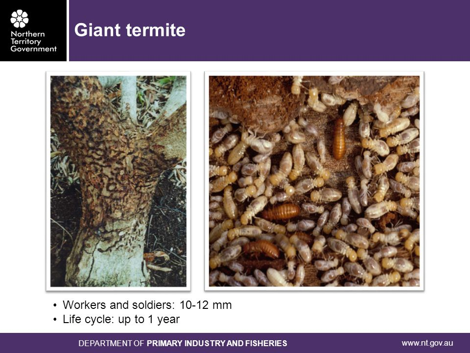 www.nt.gov.au DEPARTMENT OF PRIMARY INDUSTRY AND FISHERIES Workers and soldiers: 10-12 mm Life cycle: up to 1 year Giant termite