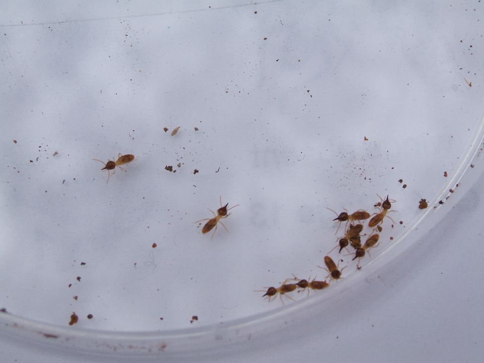 Termites A termite is an Acarina These termites were found by Caitlin.