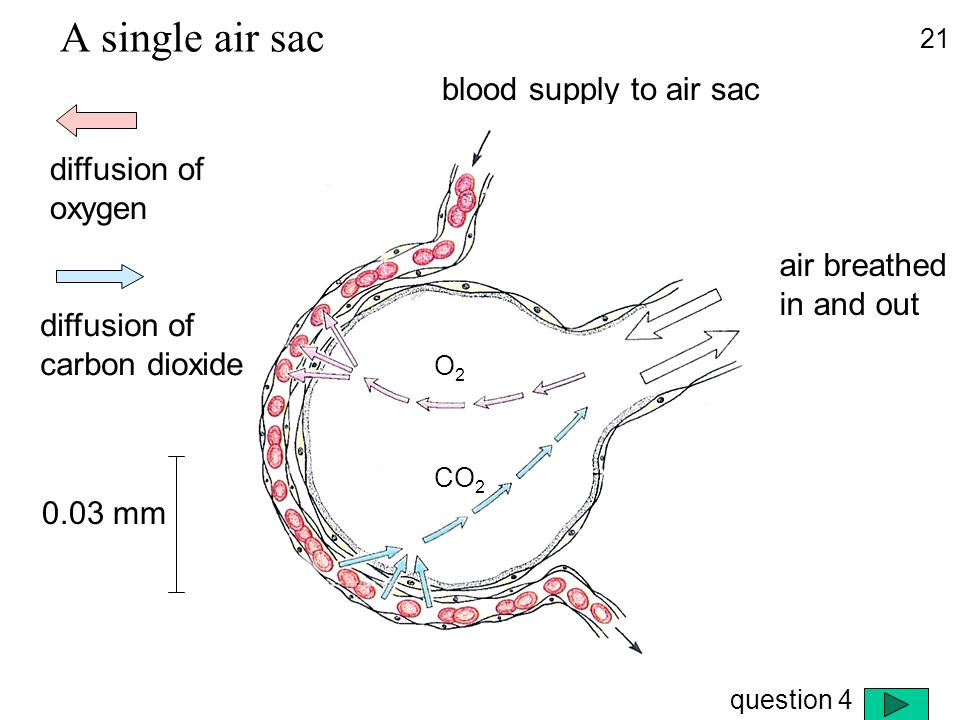 blood supply to air sac air breathed in and out diffusion of oxygen diffusion of carbon dioxide O2O2 CO 2 A single air sac 21 0.03 mm question 4