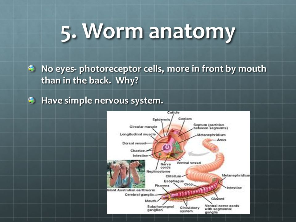 5.Worm anatomy No eyes- photoreceptor cells, more in front by mouth than in the back.