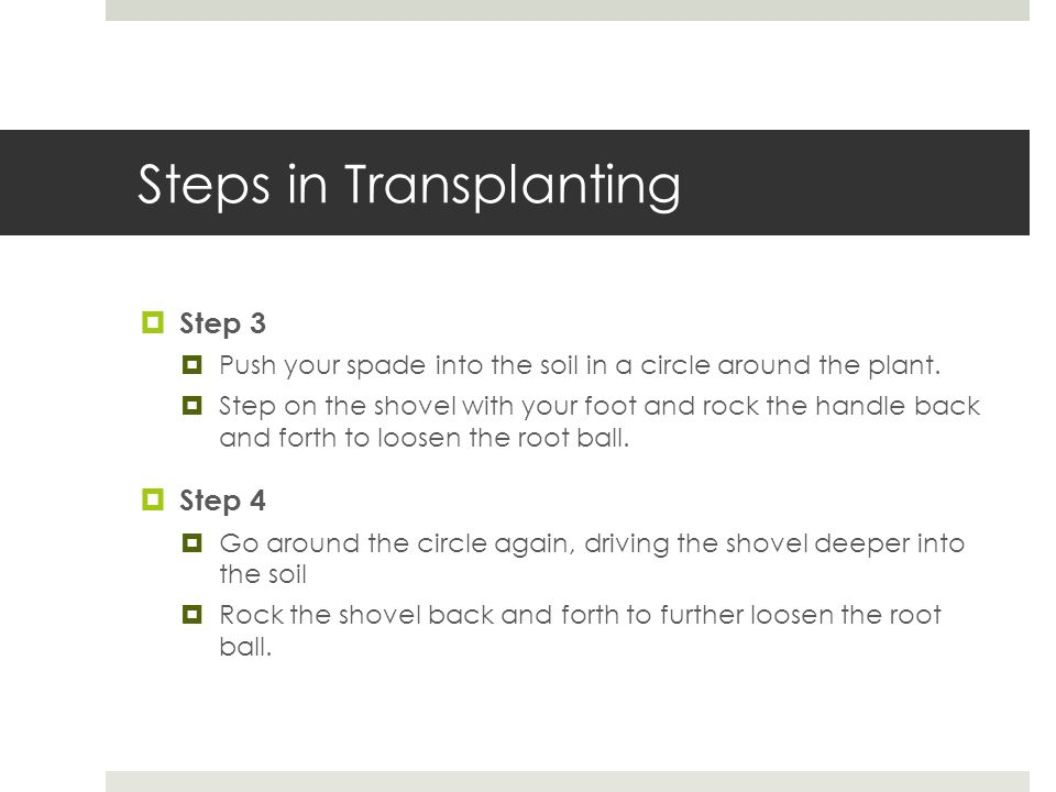 Steps in Transplanting  Step 3  Push your spade into the soil in a circle around the plant.