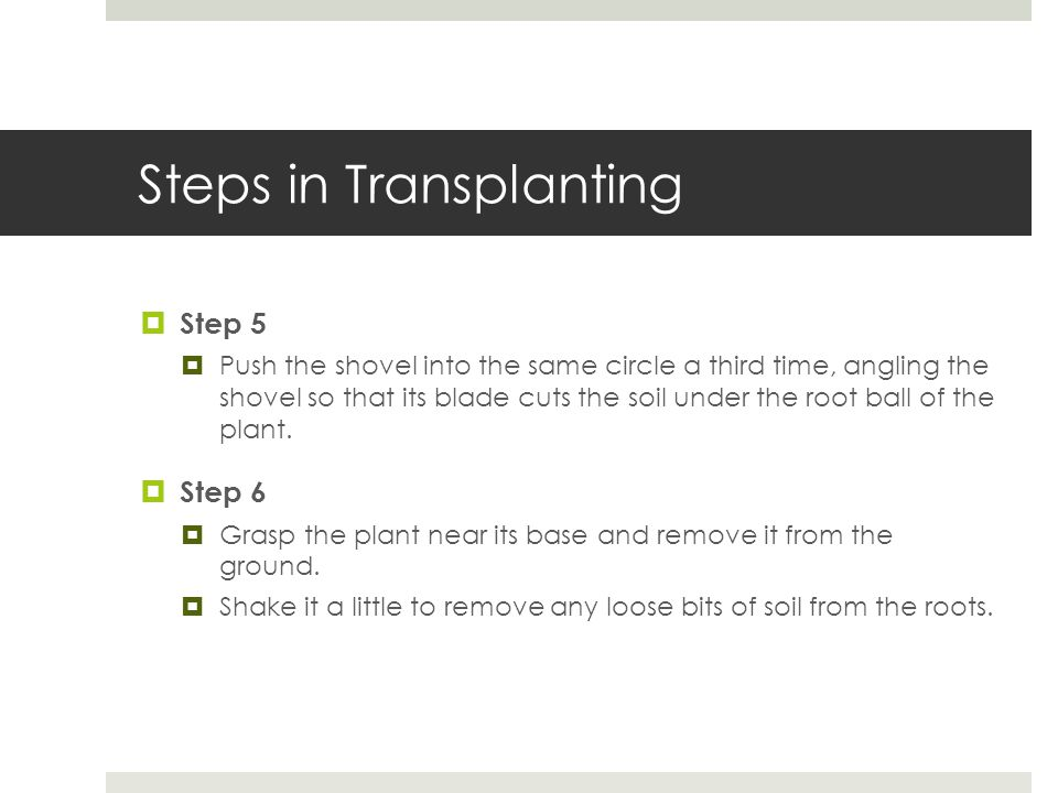 Steps in Transplanting  Step 5  Push the shovel into the same circle a third time, angling the shovel so that its blade cuts the soil under the root ball of the plant.