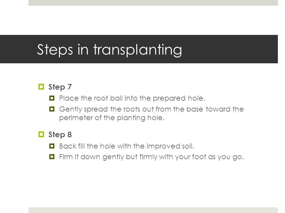 Steps in transplanting  Step 7  Place the root ball into the prepared hole.