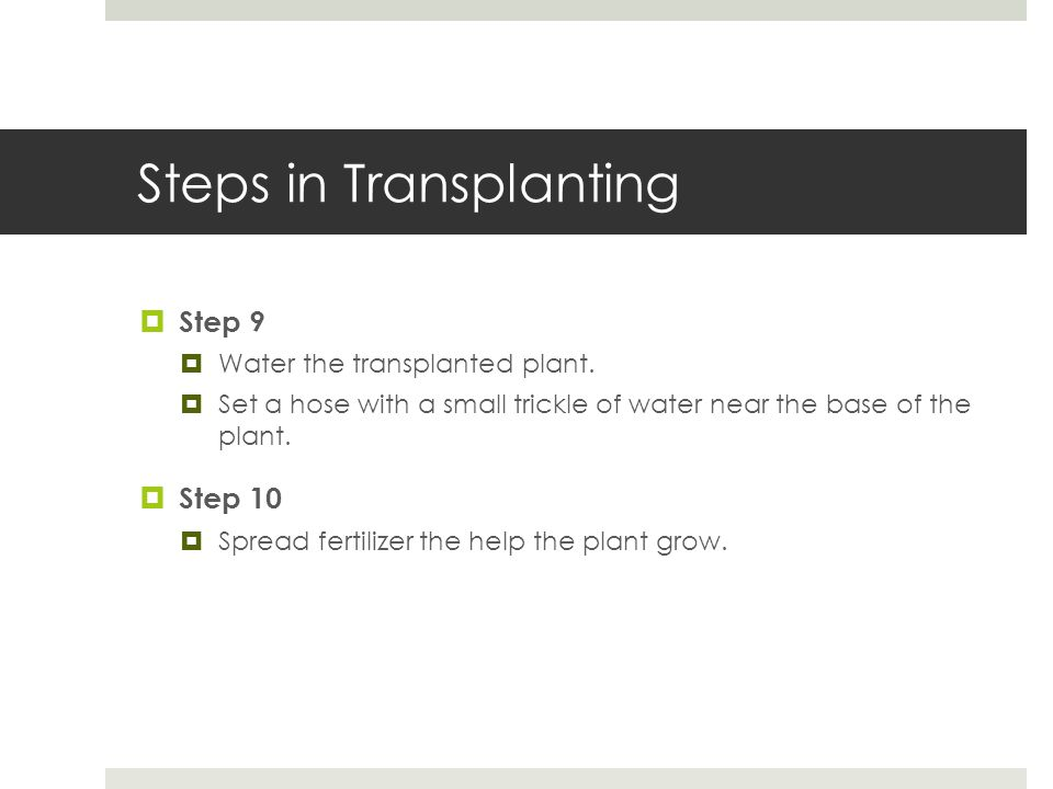 Steps in Transplanting  Step 9  Water the transplanted plant.