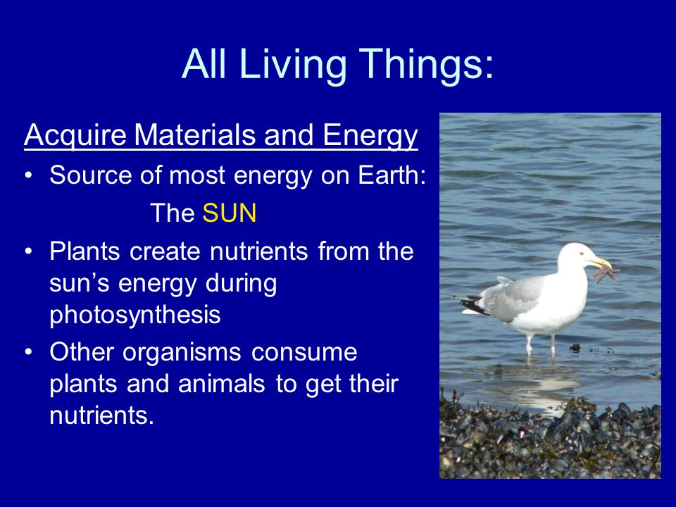 All Living Things: Acquire Materials and Energy Source of most energy on Earth: The SUN Plants create nutrients from the sun's energy during photosynthesis Other organisms consume plants and animals to get their nutrients.