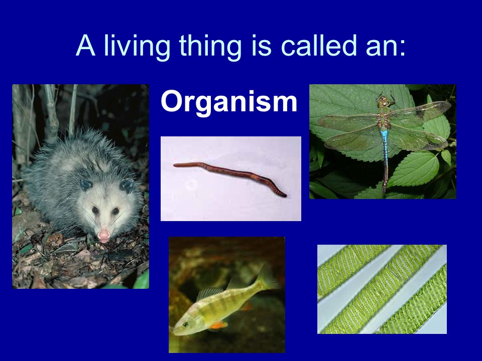 A living thing is called an: Organism