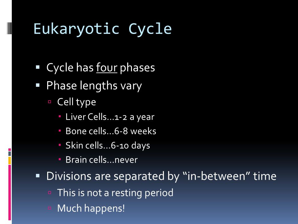 Eukaryotic Cycle  Cycle has four phases  Phase lengths vary  Cell type  Liver Cells…1-2 a year  Bone cells…6-8 weeks  Skin cells…6-10 days  Brain cells…never  Divisions are separated by in-between time  This is not a resting period  Much happens!