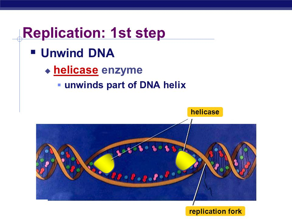 AP Biology DNA Replication  Large team of enzymes coordinates replication Let ' s meet the team …