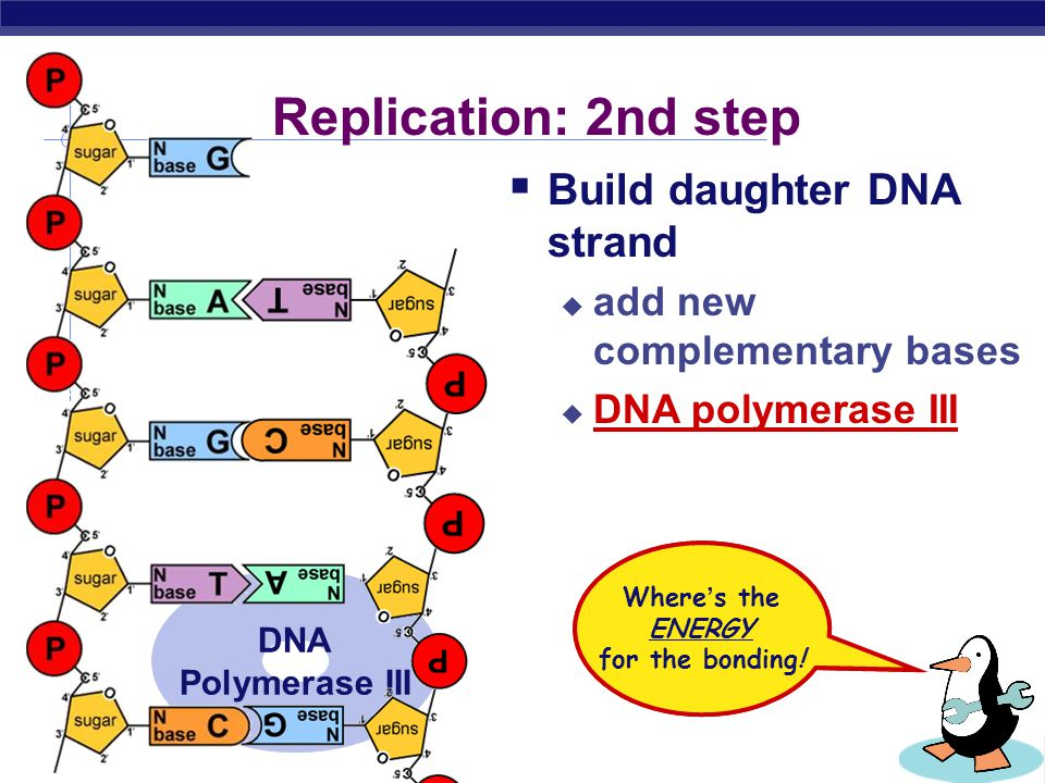 AP Biology Replication: 1st step  Unwind DNA  helicase enzyme  unwinds part of DNA helix replication fork helicase