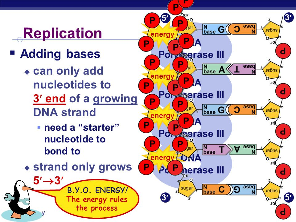 AP Biology energy ATP GTPTTPCTP Energy of Replication Where does energy for bonding usually come from.